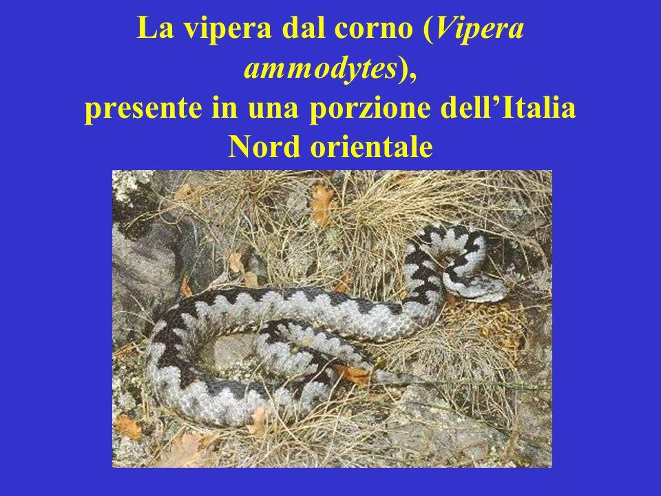 La vipera dal corno (Vipera ammodytes), presente in una porzione dell'Italia Nord orientale