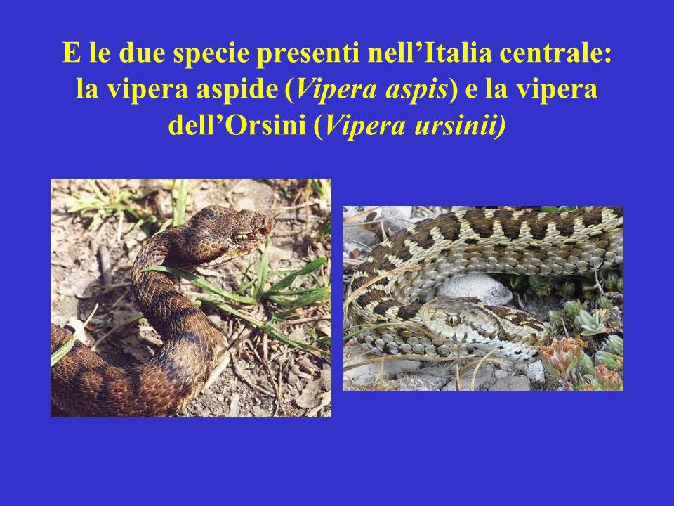E le due specie presenti nell'Italia centrale: la vipera aspide (Vipera aspis) e la vipera dell'Orsini (Vipera ursinii)
