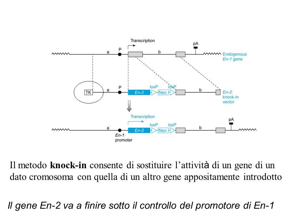 Il metodo knock-in consente di sostituire l'attivit à di un gene di un dato cromosoma con quella di un altro gene appositamente introdotto Il gene En-