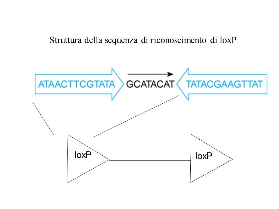 Struttura della sequenza di riconoscimento di loxP loxP