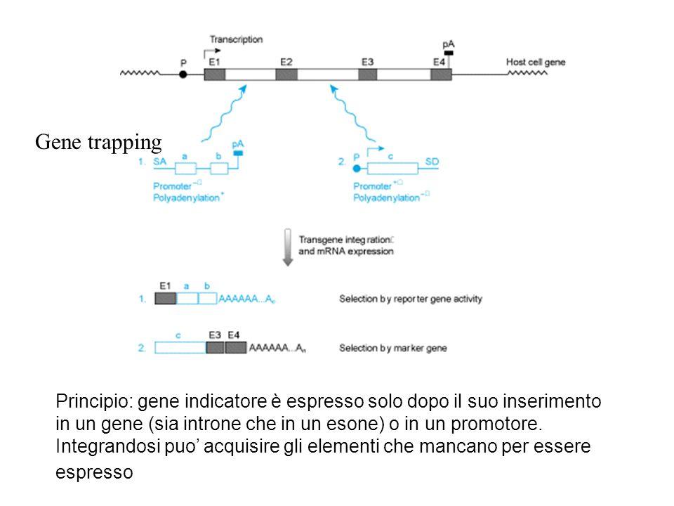 Gene trapping Principio: gene indicatore è espresso solo dopo il suo inserimento in un gene (sia introne che in un esone) o in un promotore. Integrand