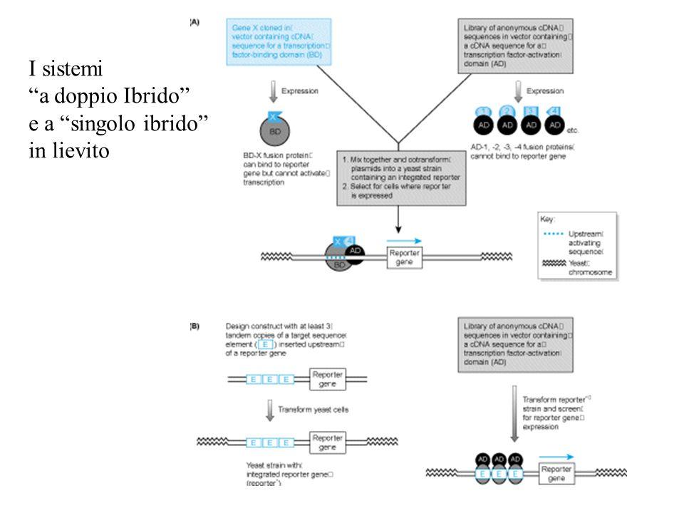 Gene trapping Principio: gene indicatore è espresso solo dopo il suo inserimento in un gene (sia introne che in un esone) o in un promotore.