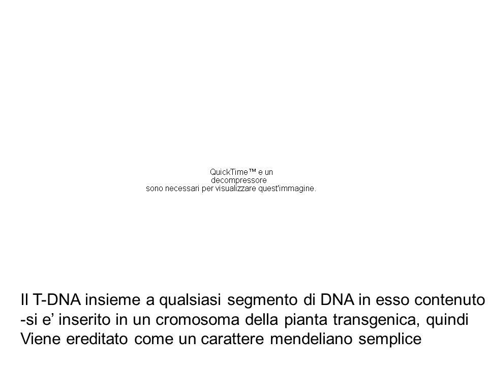Il T-DNA insieme a qualsiasi segmento di DNA in esso contenuto -si e' inserito in un cromosoma della pianta transgenica, quindi Viene ereditato come u