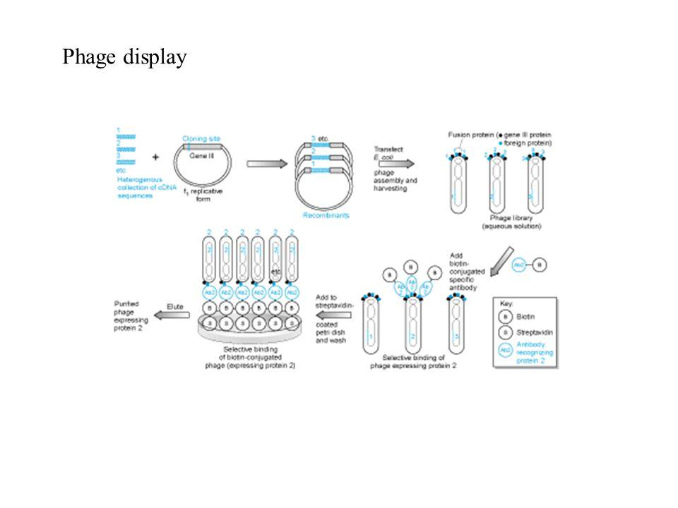 Manipolazione genetica degli animali -Studio della funzione genica -Modelli animali per le malattie Oocita fecondato Cellule staminali embrionali (ES, post-zigotiche nessuna separazione fra linea somatica e linea germinale)
