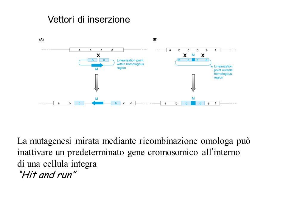 La mutagenesi mirata con doppia sostituzione può essere usata per introdurre nel DNA piccole mutazioni Tag and exchange Vettori di sostituzione HPRT+ TK- TK esterno alla regione di omologia HPRT-