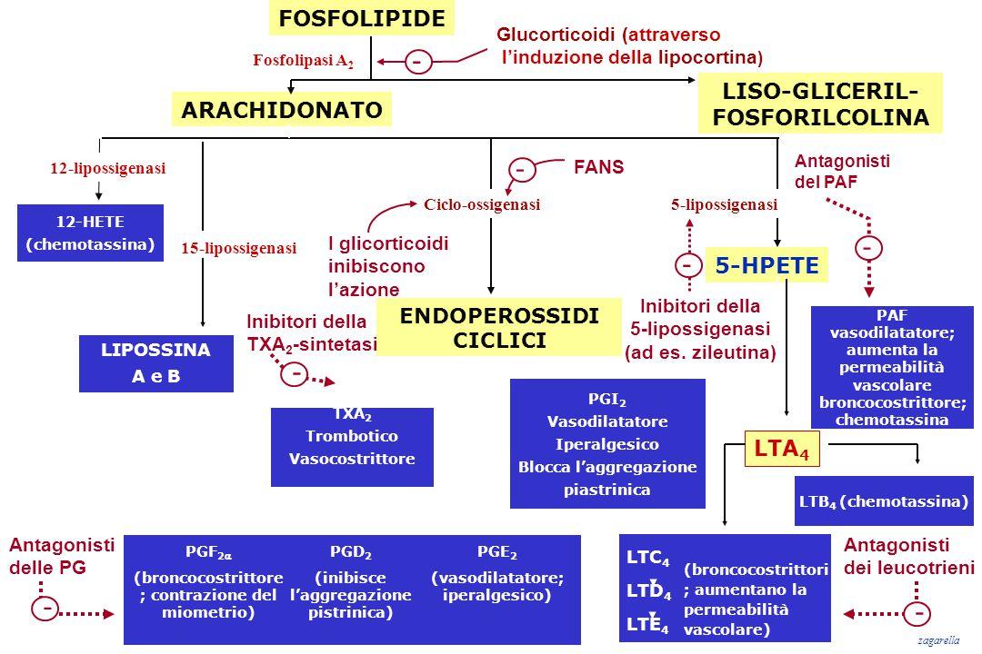 FOSFOLIPIDE ARACHIDONATO Fosfolipasi A 2 12-HETE (chemotassina) LIPOSSINA A e B PGI 2 Vasodilatatore Iperalgesico Blocca l'aggregazione piastrinica 12
