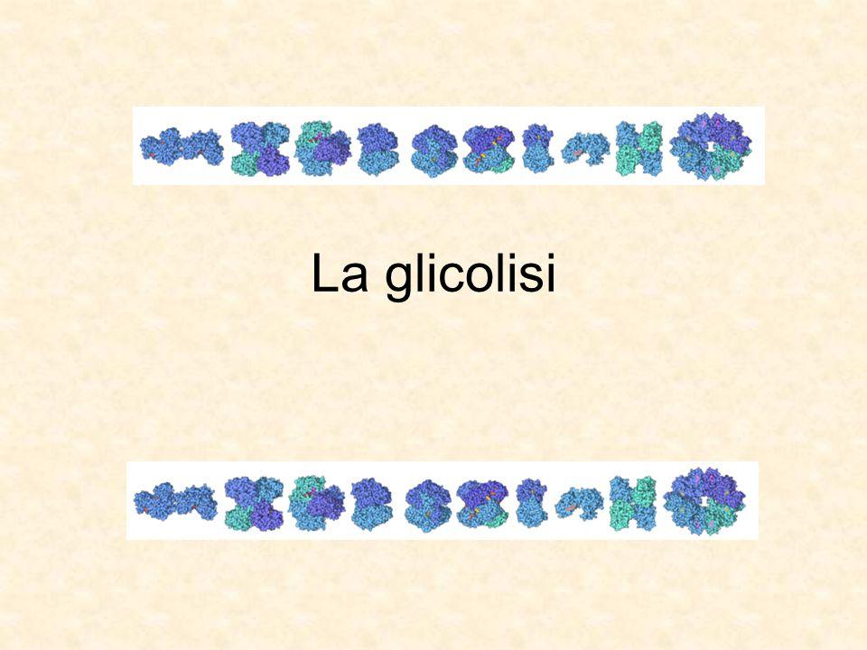 Struttura della Gliceraldeide 3-fosfato deidrogenasi Il secondo dominio lega la gliceraldeide 3P Il primo dominio lega il NAD + Il polipeptide si ripiega in due domini distinti: