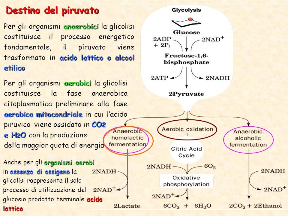 Destino del piruvato anaerobici acido lattico o alcool etilico Per gli organismi anaerobici la glicolisi costituisce il processo energetico fondamentale, il piruvato viene trasformato in acido lattico o alcool etilico aerobici aerobica mitocondriale CO 2 Per gli organismi aerobici la glicolisi costituisce la fase anaerobica citoplasmatica preliminare alla fase aerobica mitocondriale in cui l'acido piruvico viene ossidato in CO 2 e H 2 O e H 2 O con la produzione della maggior quota di energia organismi aerobi Anche per gli organismi aerobi assenza di ossigeno in assenza di ossigeno la acido lattico glicolisi rappresenta il solo processo di utilizzazione del glucosio prodotto terminale acido lattico