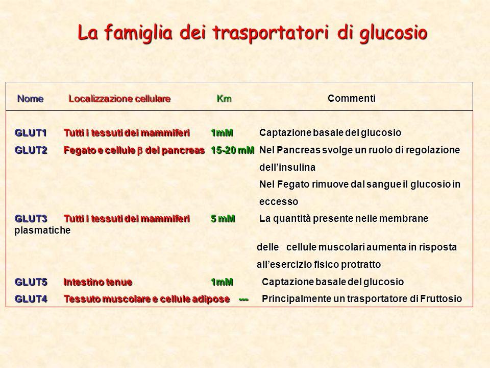 La famiglia dei trasportatori di glucosio Nome Localizzazione cellulare Km Commenti Nome Localizzazione cellulare Km Commenti GLUT1Tutti i tessuti dei mammiferi1mMCaptazione basale del glucosio GLUT2Fegato e cellule  del pancreas15-20 mMNel Pancreas svolge un ruolo di regolazione dell'insulina dell'insulina Nel Fegato rimuove dal sangue il glucosio in Nel Fegato rimuove dal sangue il glucosio in eccesso eccesso GLUT3Tutti i tessuti dei mammiferi5 mMLa quantità presente nelle membrane plasmatiche delle cellule muscolari aumenta in risposta delle cellule muscolari aumenta in risposta all'esercizio fisico protratto all'esercizio fisico protratto GLUT5Intestino tenue1mM Captazione basale del glucosio GLUT4Tessuto muscolare e cellule adipose --- Principalmente un trasportatore di Fruttosio