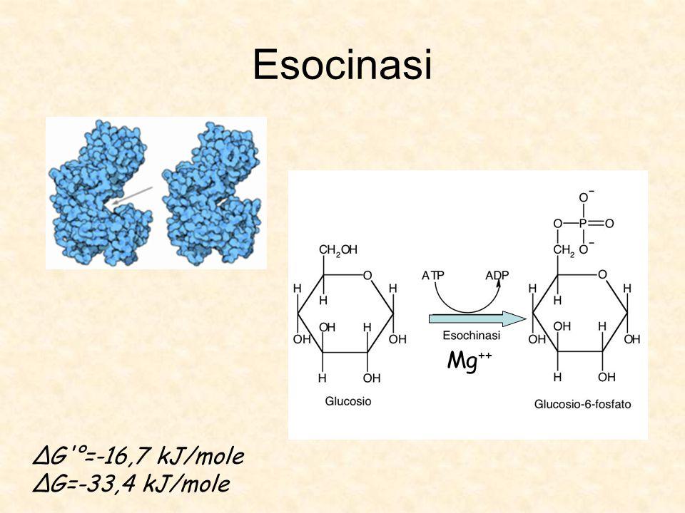 Esocinasi Mg ++ ΔG °=-16,7 kJ/mole ΔG=-33,4 kJ/mole