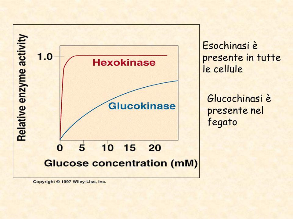 Esochinasi è presente in tutte le cellule Glucochinasi è presente nel fegato