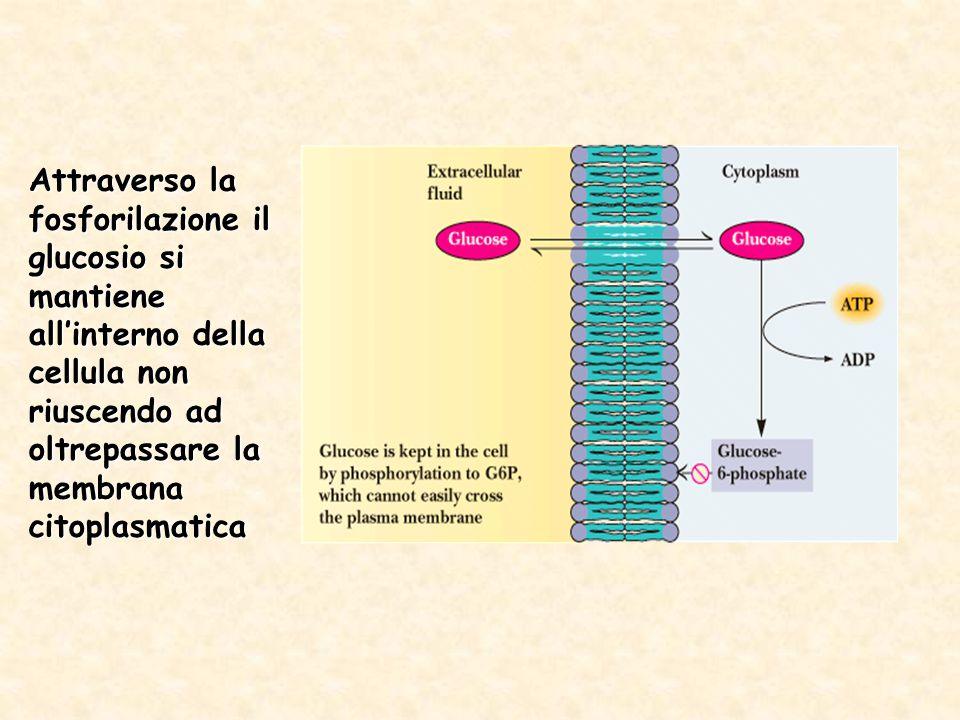 Attraverso la fosforilazione il glucosio si mantiene all'interno della cellula non riuscendo ad oltrepassare la membrana citoplasmatica