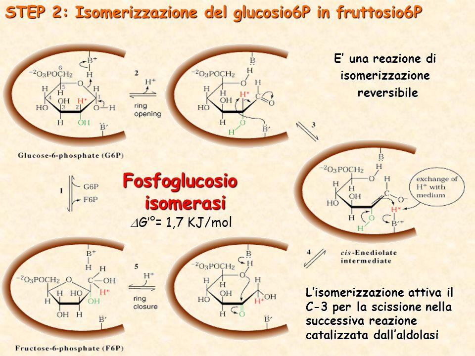 STEP 2: Isomerizzazione del glucosio6P in fruttosio6P Fosfoglucosioisomerasi E' una reazione di isomerizzazione reversibile reversibile L'isomerizzazione attiva il C-3 per la scissione nella successiva reazione catalizzata dall'aldolasi  G'°= 1,7 KJ/mol