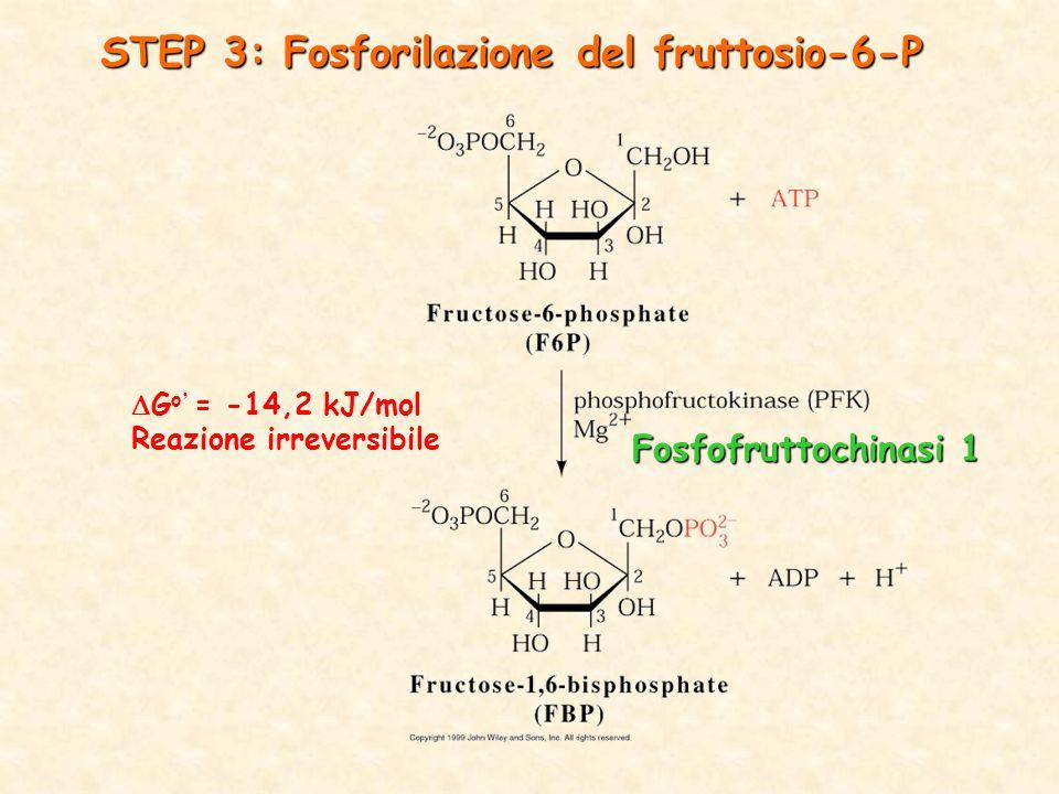  G o ' = -14,2 kJ/mol Reazione irreversibile STEP 3: Fosforilazione del fruttosio-6-P Fosfofruttochinasi 1
