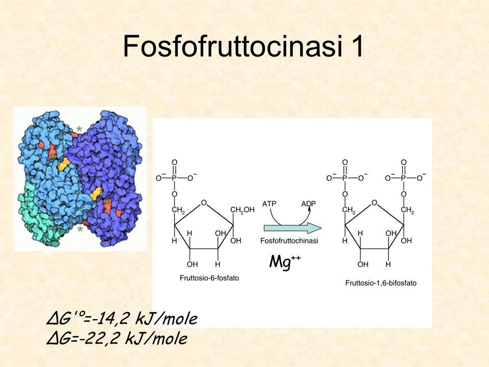 Fosfofruttocinasi 1 Mg ++ ΔG °=-14,2 kJ/mole ΔG=-22,2 kJ/mole