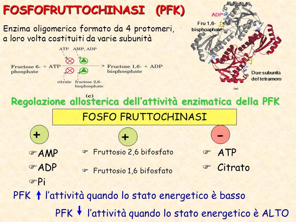 FOSFOFRUTTOCHINASI (PFK) Enzima oligomerico formato da 4 protomeri, a loro volta costituiti da varie subunità Regolazione allosterica dell'attività enzimatica della PFK FOSFO FRUTTOCHINASI  ATP  Citrato -  Fruttosio 2,6 bifosfato  Fruttosio 1,6 bifosfato +  AMP  ADP +  Pi PFK l'attività quando lo stato energetico è basso PFK l'attività quando lo stato energetico è ALTO Due subunit à del tetramero ADP Fru 1,6- bisphoaphate