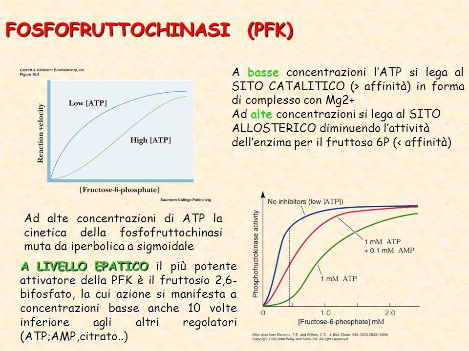 FOSFOFRUTTOCHINASI (PFK) A basse concentrazioni l'ATP si lega al SITO CATALITICO (> affinità) in forma di complesso con Mg2+ Ad alte concentrazioni si lega al SITO ALLOSTERICO diminuendo l'attività dell'enzima per il fruttoso 6P (< affinità) Ad alte concentrazioni di ATP la cinetica della fosfofruttochinasi muta da iperbolica a sigmoidale A LIVELLO EPATICO il più potente attivatore della PFK è il fruttosio 2,6- bifosfato, la cui azione si manifesta a concentrazioni basse anche 10 volte inferiore agli altri regolatori (ATP;AMP,citrato..)