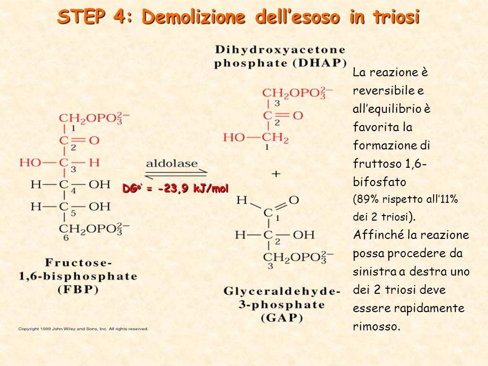 DG o' = -23,9 kJ/mol STEP 4: Demolizione dell'esoso in triosi La reazione è reversibile e all'equilibrio è favorita la formazione di fruttoso 1,6- bifosfato (89% rispetto all'11% dei 2 triosi ).