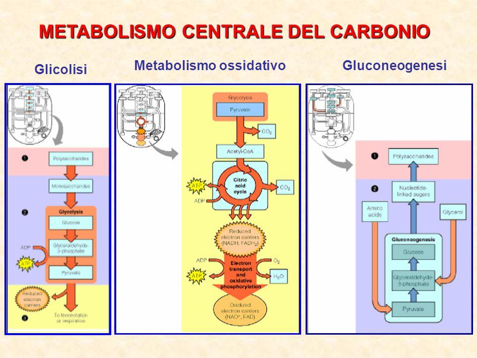 METABOLISMO CENTRALE DEL CARBONIO Glicolisi Metabolismo ossidativoGluconeogenesi