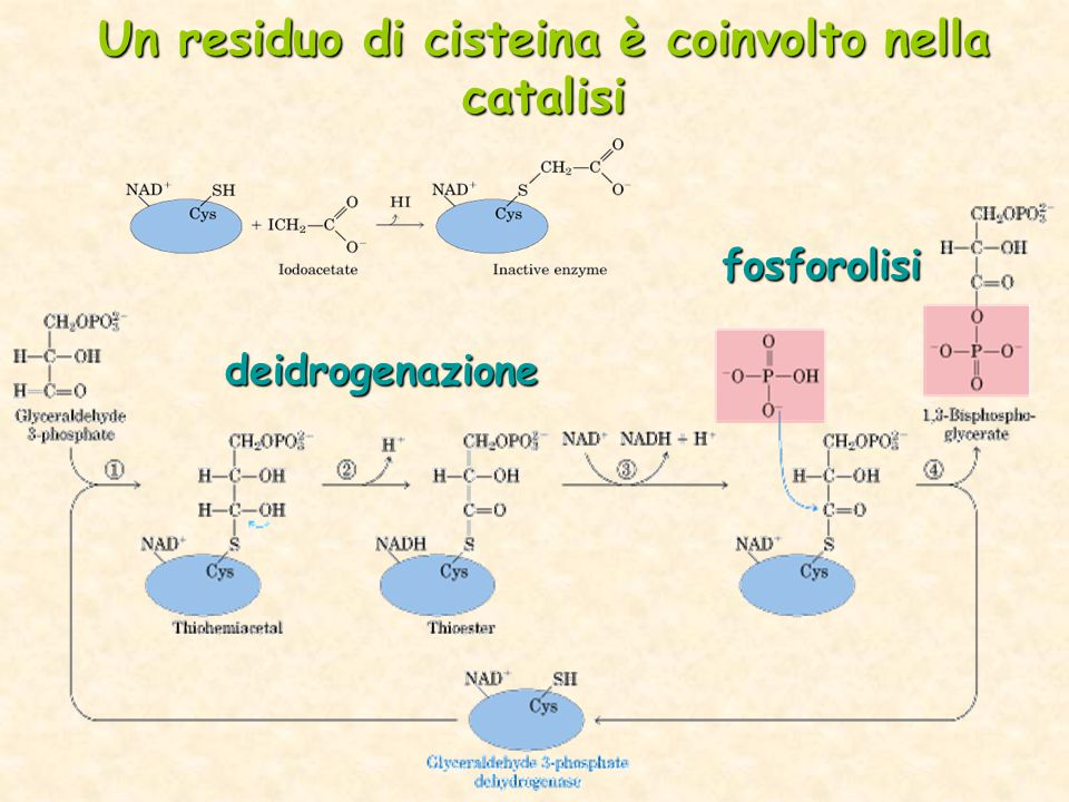 deidrogenazione fosforolisi Un residuo di cisteina è coinvolto nella catalisi