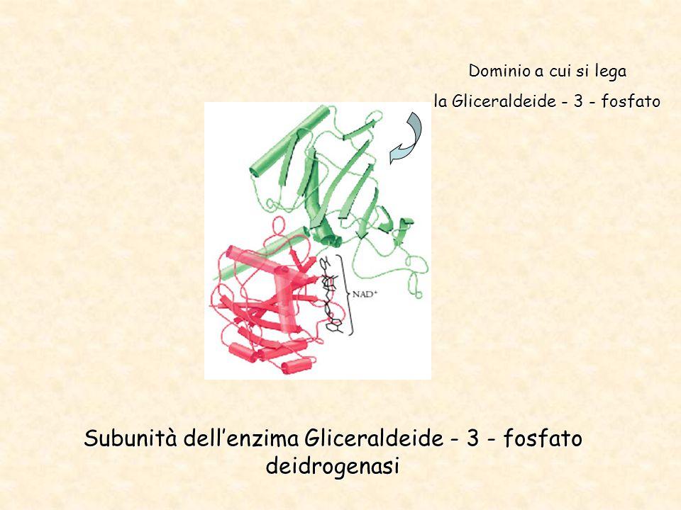 Subunità dell'enzima Gliceraldeide - 3 - fosfato deidrogenasi Dominio a cui si lega la Gliceraldeide - 3 - fosfato