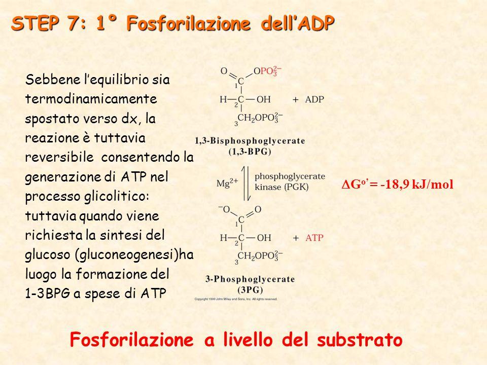Fosforilazione a livello del substrato  G o' = -18,9 kJ/mol STEP 7: 1° Fosforilazione dell'ADP Sebbene l'equilibrio sia termodinamicamente spostato verso dx, la reazione è tuttavia reversibile consentendo la generazione di ATP nel processo glicolitico: tuttavia quando viene richiesta la sintesi del glucoso (gluconeogenesi)ha luogo la formazione del 1-3BPG a spese di ATP