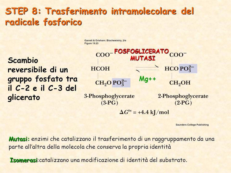 Scambio reversibile di un gruppo fosfato tra il C-2 e il C-3 del glicerato STEP 8: Trasferimento intramolecolare del radicale fosforico FOSFOGLICERATOMUTASI Mg++ Mutasi: Mutasi: enzimi che catalizzano il trasferimento di un raggruppamento da una parte all'altra della molecola che conserva la propria identità Isomerasi Isomerasi:catalizzano una modificazione di identità del substrato.