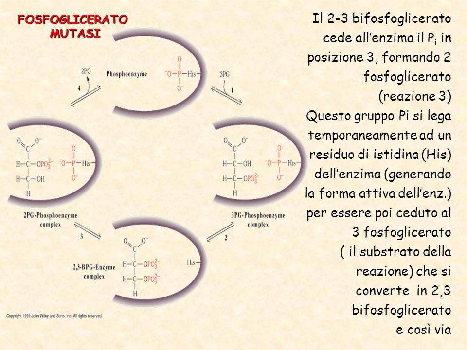 Il 2-3 bifosfoglicerato cede all'enzima il P i in posizione 3, formando 2 fosfoglicerato (reazione 3) Questo gruppo Pi si lega temporaneamente ad un residuo di istidina (His) dell'enzima (generando la forma attiva dell'enz.) per essere poi ceduto al 3 fosfoglicerato ( il substrato della reazione) che si converte in 2,3 bifosfoglicerato e così via FOSFOGLICERATOMUTASI