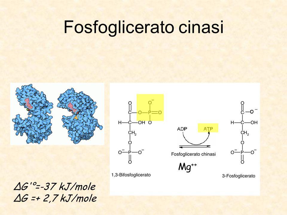 Fosfoglicerato cinasi Mg ++ ΔG °=-37 kJ/mole ΔG =+ 2,7 kJ/mole