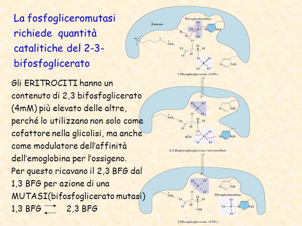 La fosfogliceromutasi richiede quantità catalitiche del 2-3- bifosfoglicerato Gli ERITROCITI hanno un contenuto di 2,3 bifosfoglicerato (4mM) più elevato delle altre, perché lo utilizzano non solo come cofattore nella glicolisi, ma anche come modulatore dell'affinità dell'emoglobina per l'ossigeno.