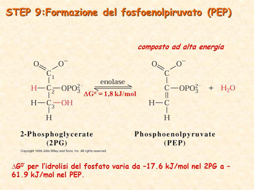 composto ad alta energia  G 0' per l'idrolisi del fosfato varia da –17.6 kJ/mol nel 2PG a – 61.9 kJ/mol nel PEP.