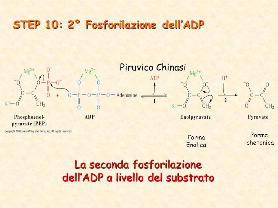 La seconda fosforilazione dell'ADP a livello del substrato STEP 10: 2° Fosforilazione dell'ADP Forma chetonica Forma Enolica Piruvico Chinasi