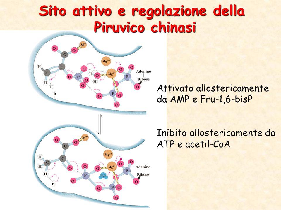 Sito attivo e regolazione della Piruvico chinasi Attivato allostericamente da AMP e Fru-1,6-bisP Inibito allostericamente da ATP e acetil-CoA