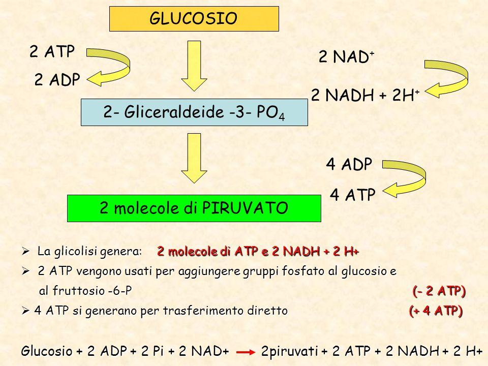 GLUCOSIO 2- Gliceraldeide -3- PO 4 2 molecole di PIRUVATO 2 ATP 2 ADP 4 ADP 4 ATP 2 NAD + 2 NADH + 2H +  La glicolisi genera: 2 molecole di ATP e 2 NADH + 2 H+  2 ATP vengono usati per aggiungere gruppi fosfato al glucosio e al fruttosio -6-P (- 2 ATP) al fruttosio -6-P (- 2 ATP)  4 ATP si generano per trasferimento diretto (+ 4 ATP) Glucosio + 2 ADP + 2 Pi + 2 NAD+ 2piruvati + 2 ATP + 2 NADH + 2 H+