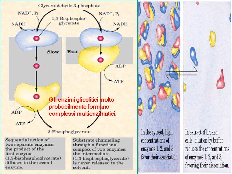 Gli enzimi glicolitici molto probabilmente formano complessi multienzimatici.
