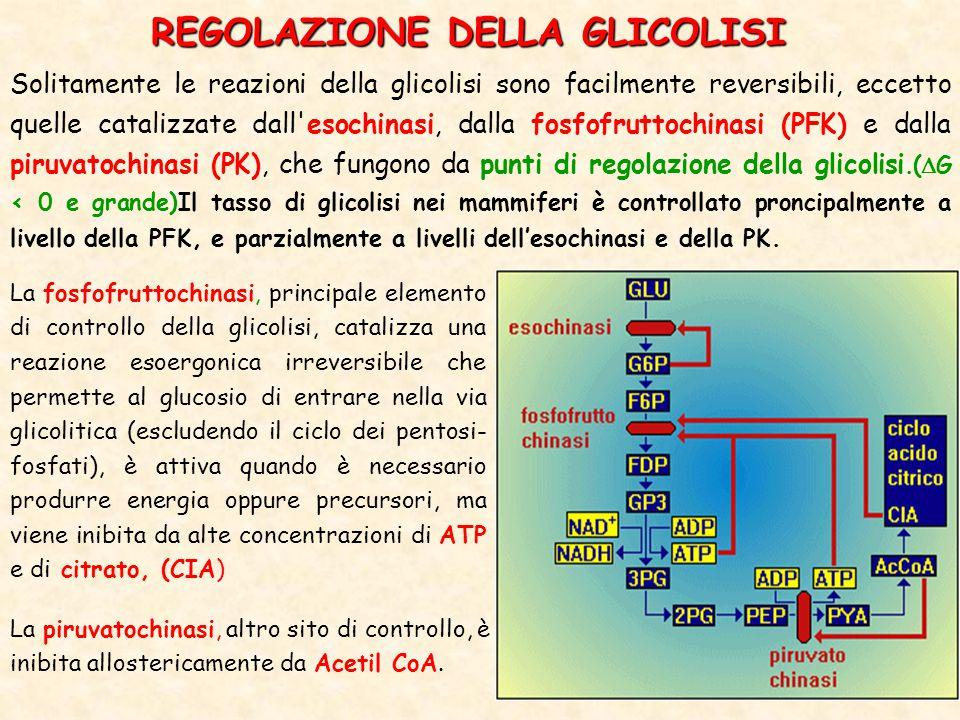 REGOLAZIONE DELLA GLICOLISI Solitamente le reazioni della glicolisi sono facilmente reversibili, eccetto quelle catalizzate dall esochinasi, dalla fosfofruttochinasi (PFK) e dalla piruvatochinasi (PK), che fungono da punti di regolazione della glicolisi.(  G < 0 e grande)Il tasso di glicolisi nei mammiferi è controllato proncipalmente a livello della PFK, e parzialmente a livelli dell'esochinasi e della PK.