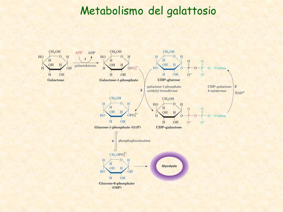 Metabolismo del galattosio