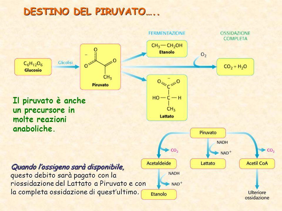 DESTINO DEL PIRUVATO…..Il piruvato è anche un precursore in molte reazioni anaboliche.