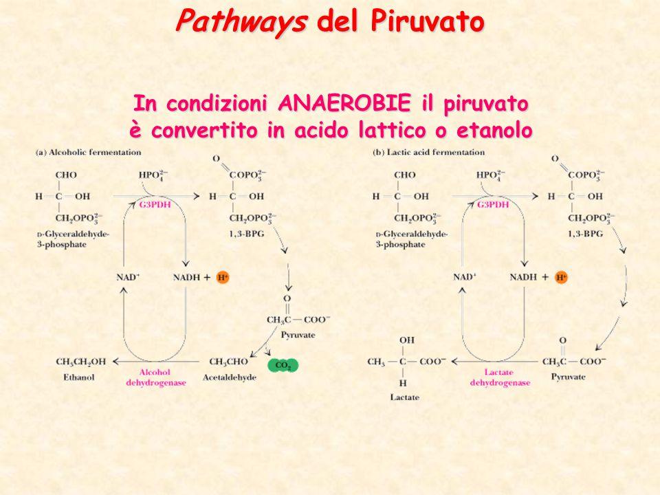 In condizioni ANAEROBIE il piruvato è convertito in acido lattico o etanolo Pathways del Piruvato