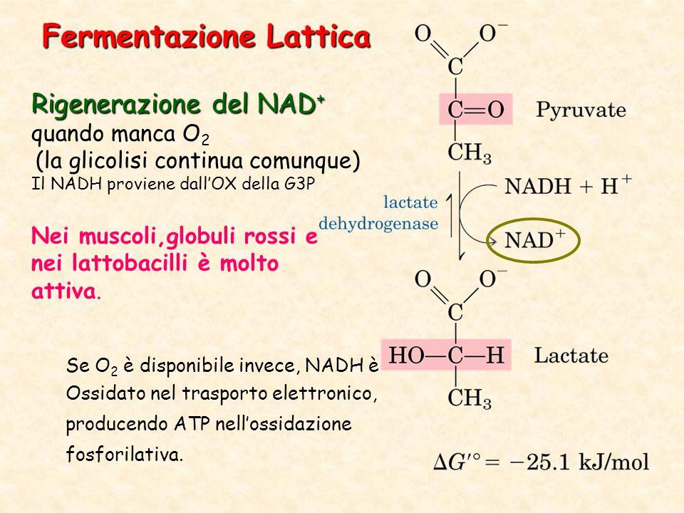 Rigenerazione del NAD + quando manca O 2 (la glicolisi continua comunque) Il NADH proviene dall'OX della G3P Nei muscoli,globuli rossi e nei lattobacilli è molto attiva.