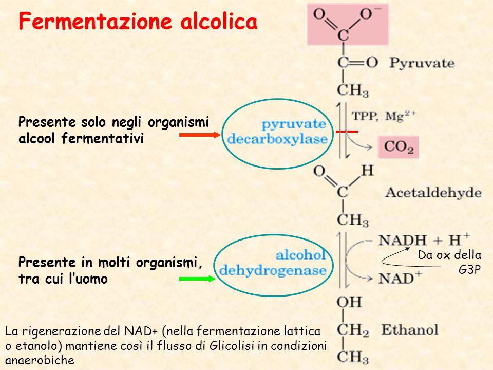 Presente solo negli organismi alcool fermentativi Presente in molti organismi, tra cui l'uomo Fermentazione alcolica La rigenerazione del NAD+ (nella fermentazione lattica o etanolo) mantiene così il flusso di Glicolisi in condizioni anaerobiche Da ox della G3P