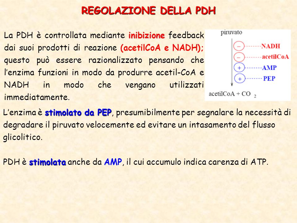 inibizione La PDH è controllata mediante inibizione feedback dai suoi prodotti di reazione (acetilCoA e NADH); questo può essere razionalizzato pensando che l'enzima funzioni in modo da produrre acetil-CoA e NADH in modo che vengano utilizzati immediatamente.
