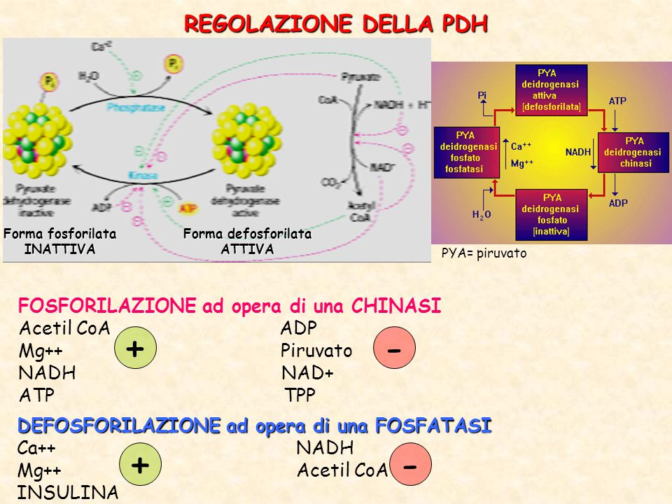Forma defosforilata ATTIVA Forma fosforilata INATTIVA FOSFORILAZIONE ad opera di una CHINASI Acetil CoA ADP Mg++ Piruvato NADH NAD+ ATP TPP DEFOSFORILAZIONE ad opera di una FOSFATASI Ca++ NADH Mg++ Acetil CoA INSULINA +- REGOLAZIONE DELLA PDH +- PYA= piruvato