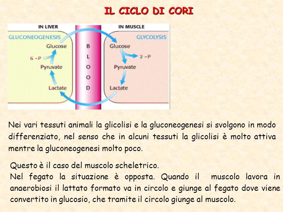 IL CICLO DI CORI Nei vari tessuti animali la glicolisi e la gluconeogenesi si svolgono in modo differenziato, nel senso che in alcuni tessuti la glicolisi è molto attiva mentre la gluconeogenesi molto poco.