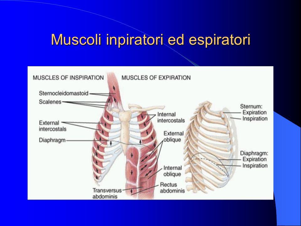 Muscoli inpiratori ed espiratori