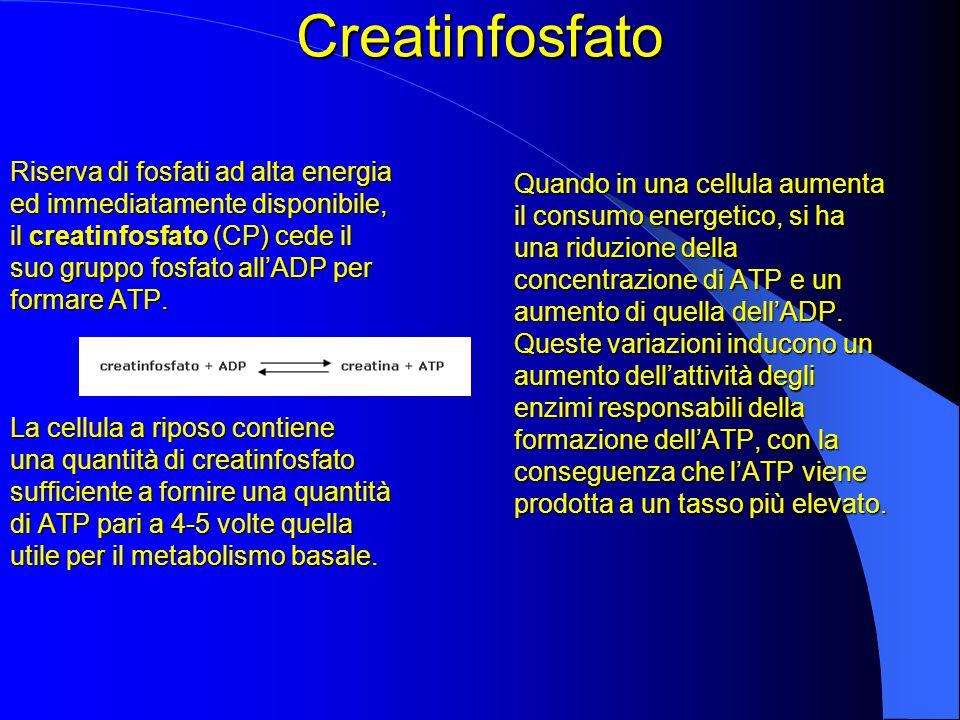 Creatinfosfato Quando in una cellula aumenta il consumo energetico, si ha una riduzione della concentrazione di ATP e un aumento di quella dell'ADP.