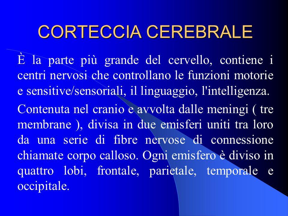 CORTECCIA CEREBRALE È la parte più grande del cervello, contiene i centri nervosi che controllano le funzioni motorie e sensitive/sensoriali, il linguaggio, l intelligenza.