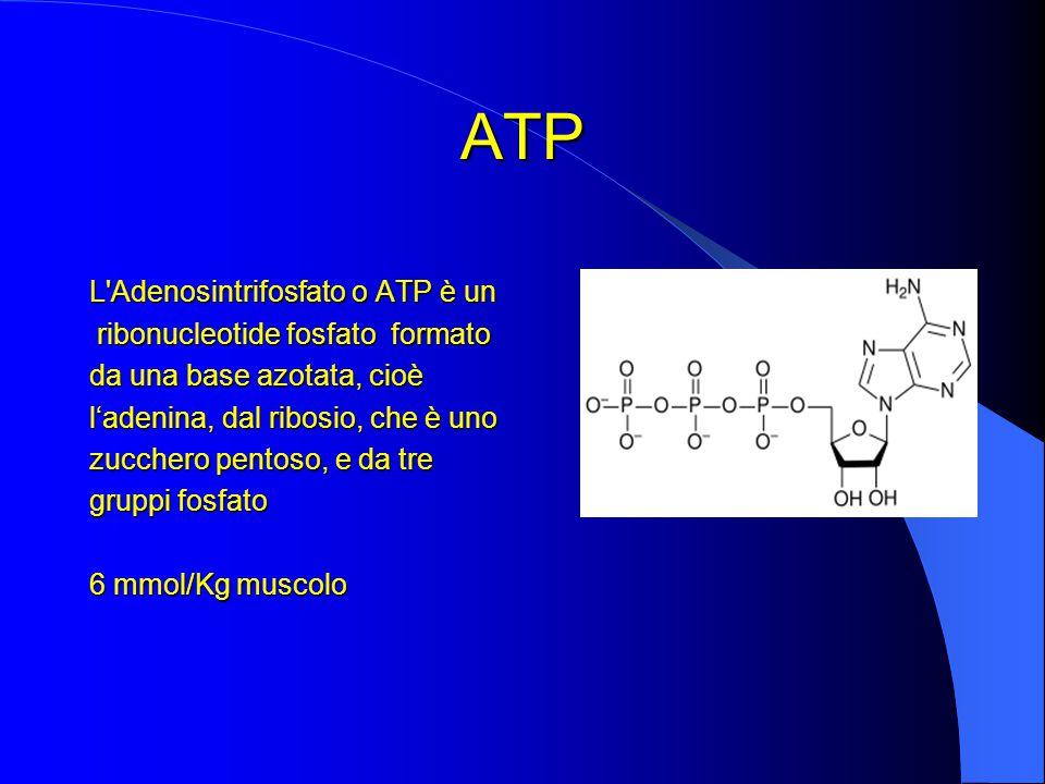 ATP L Adenosintrifosfato o ATP è un ribonucleotide fosfato formato ribonucleotide fosfato formato da una base azotata, cioè l'adenina, dal ribosio, che è uno zucchero pentoso, e da tre gruppi fosfato 6 mmol/Kg muscolo