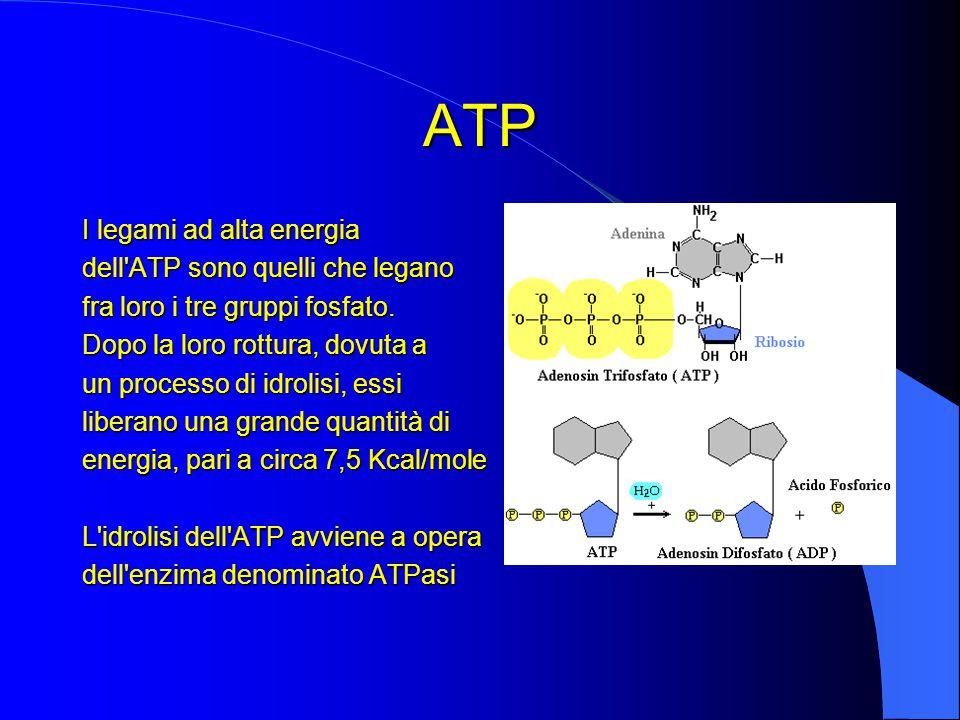 I legami ad alta energia dell ATP sono quelli che legano fra loro i tre gruppi fosfato.