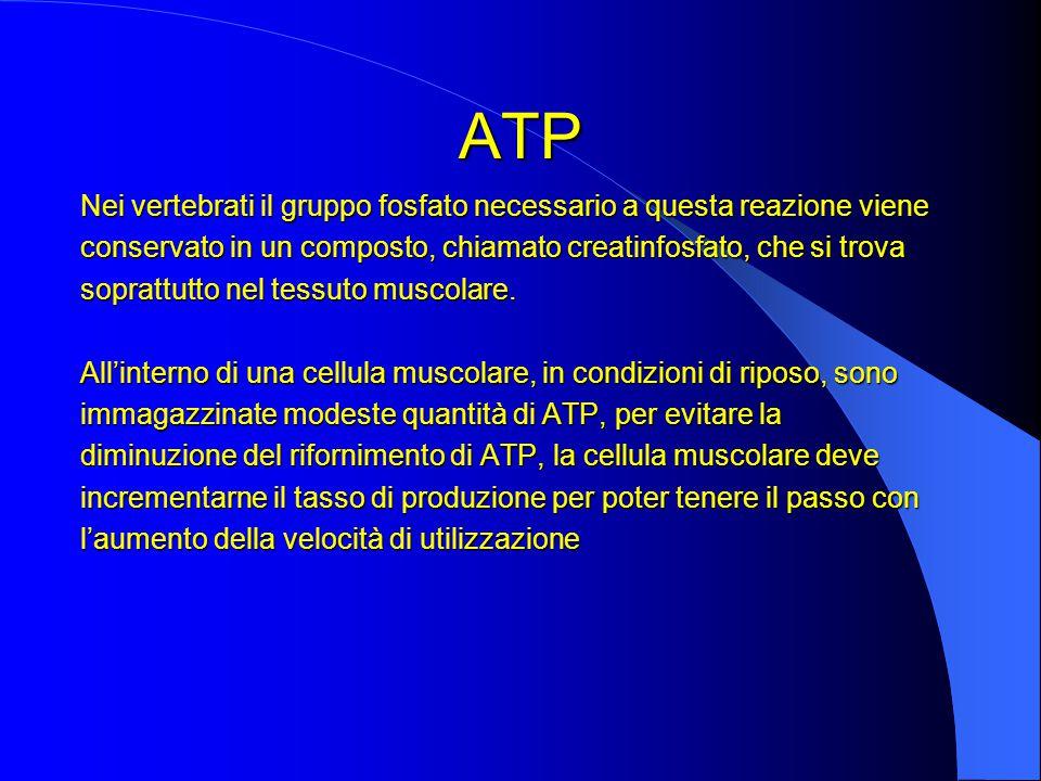 ATP Nei vertebrati il gruppo fosfato necessario a questa reazione viene conservato in un composto, chiamato creatinfosfato, che si trova soprattutto nel tessuto muscolare.